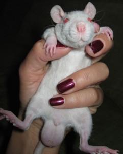 Размер крысиного достоинства определяется биологией
