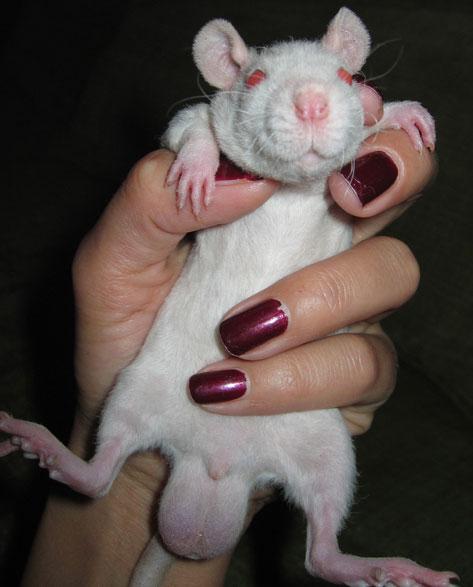 Сперма крыс