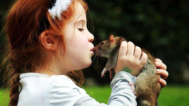 Декоративные крысы могут передавать опасные заболевания