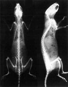 Рентгеновский снимок крысы